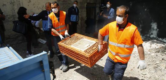 Kaçak Tavuk Kesimi Yapanlara Operasyon
